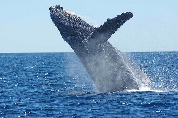 Samaná whale watching