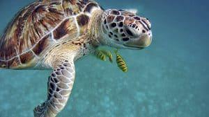 Nidos de tortugas en Riviera Maya
