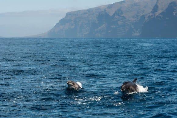 Avistamiento delfines Tenerife