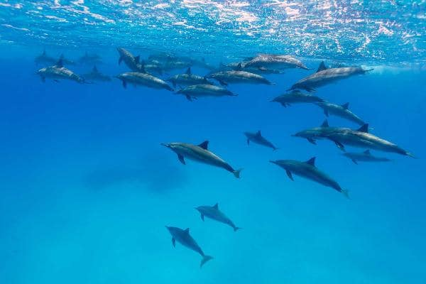 Swim with dolphins in Dolphin Cove at Jamaica